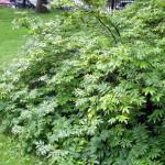 Купить семена, растение – Рябина бузинолистная (Sorbus sambucifolia)