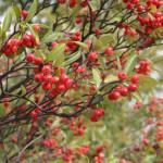 Купить семена, растение – Арония земляничниколистная (Aronia arbutifolia)