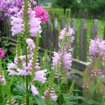 Купить семена, растение – Физостегия 'Variegata' (Physostegia 'Variegata')