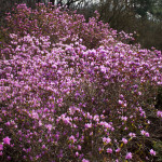 Купить семена, растение – Рододендрон сихотинский (Rhododendron sichotense)