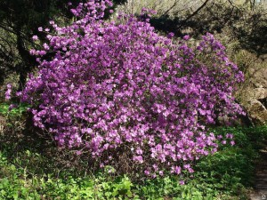 Купить семена, растение – Рододендрон Ледебура (Rhododendron ledebourii)