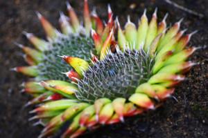 Купить семена, растение – Горноколосник колючий (Orostachys spinosa)