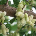 Купить семена, растение – Шелковица белая (Morus alba)