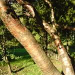 Купить семена, растение – Береза желтая (Betula costata)