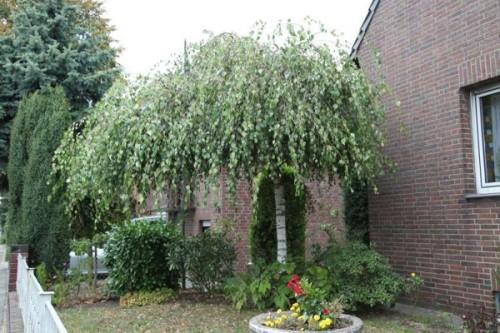Купить семена, растение – Береза Юнга (Betula pendula 'Youngii')