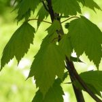 Купить семена, растение – Клен колосистый (Acer spicatum)