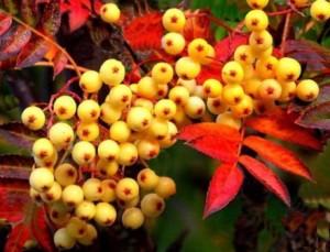 Купить семена, растение – Рябина Невежинская желтая