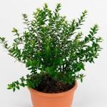 Купить семена, растение – Мирт Тарентина (Myrtus tarentina)