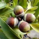 Купить семена, растение – Дуб сизый (Quercus glauca)