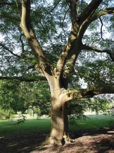 Купить семена, растение – Орех айлантолистный (Juglans ailantifolia)