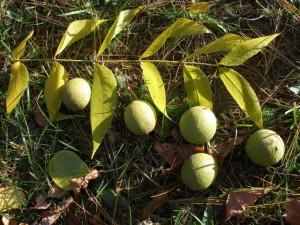 Купить семена, растение – Орех скальный (Juglans rupestris)