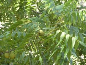 Купить семена, растение – Орех серый (Juglans cinerea)