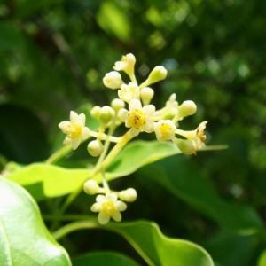 Купить семена, растение – Камфорный лавр (Cinnamomum camphora)