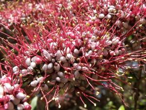 Купить семена, растение – Мирриниум темнопурпурный (Myrrhinium atropurpureum)