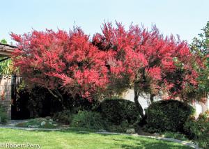Купить семена, растение – Лептоспермум (Leptospermum scoparium)