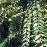 Купить семена, растение – Адина красноватая (Adina rubella)