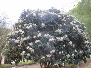 Купить семена, растение – Калина лавролистная (Viburnum tinus)