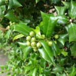 Купить семена, растение – Падуб рогатый (Ilex cornuta)