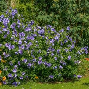 Купить семена, растение – Гибискус Blue Satin (Hibiscus Blue Satin)