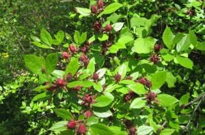 Купить семена, растение – Каликант цветущий (Calycanthus floridus)