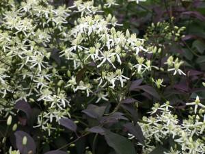Купить семена, растение – Клематис пурпурнолистный (Clematis recta Purpurea)