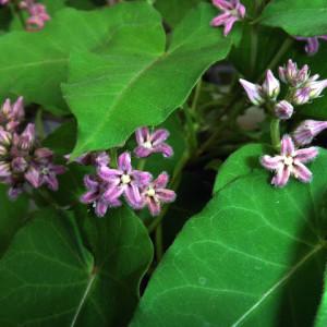Купить семена, растение – Метаплексис японский (Metaplexis japonica)