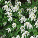Купить семена, растение – Княжик белый (Clematis sibirica)
