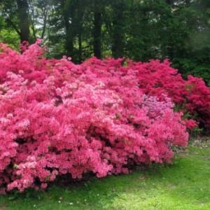 Купить семена, растение – Рододендрон розоватый (Rhododendron roseum)