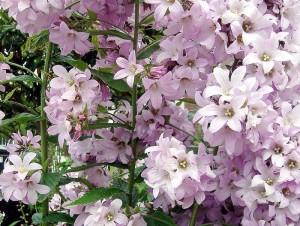 Купить семена, растение – Колокольчик молочноцветковый розовый