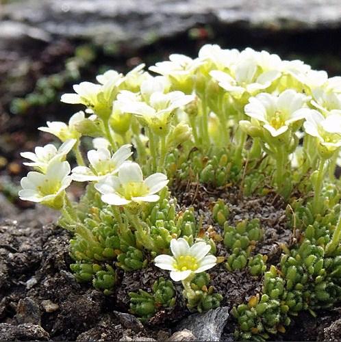 Купить семена, растение – Камнеломка моховидная (Saxifraga muscoides)