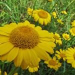 Купить семена, растение – Пупавка красильная (Anthemis tinctoria)