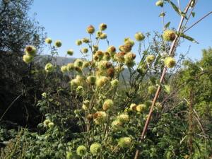Купить семена, растение – Альфредия поникшая (Alfredia cernua)