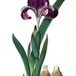 Купить семена, растение – Ирис рогатый (Iris furcata)