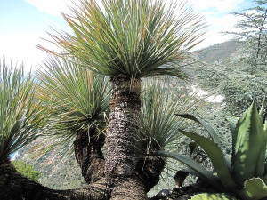 Купить семена, растение – Дазилирион (Dasylirion)