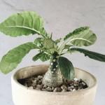 Купить семена, растение – Дорстения Фоэтида вариегатная (Dorstenia foetida variegata)