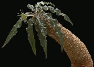 """Купить семена, растение – Дорстения """"Lancifolia (Dorstenia """"Lancifolia"""")"""