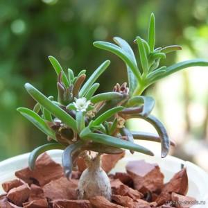 Купить семена, растение – Местоклема крупнокорневищная (Mestoklema macrorhiza)