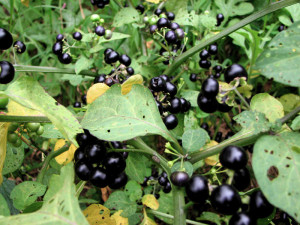 Купить семена, растение – Сараха овощная (Jaltomata procumbens)