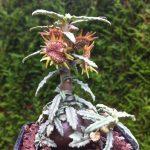 Купить семена, растение – Дорстения Хильдебрандта (Dorstenia hildebrandtii)