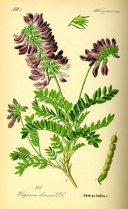 Купить семена, растение – Копеечник забытый, или Медвежий корень