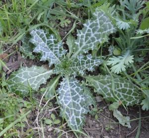 Купить семена, растение – Нотобазис сирийский (Notobasis syriaca)