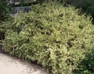 Купить семена, растение – Мирт Вариегатный (Myrtus Variegata)