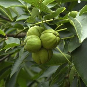 Купить семена, растение – Кария овальная (Carya ovata)
