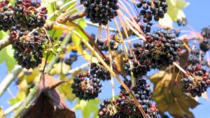 Купить семена, растение – Калопанакс семилопастный (Kalopanax septemlobus)