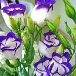 Купить семена, растение – Эустома (Лизиантус)