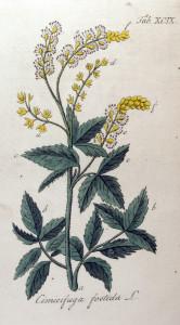 Купить семена, растение – Клопогон вонючий (Actaea cimicifuga)