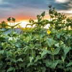 Купить семена, растение – Сильфия пронзеннолистная (Silphium perfoliatum)