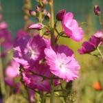 Купить семена, растение – Сидальцея орегонская (Sidalcea oregana)