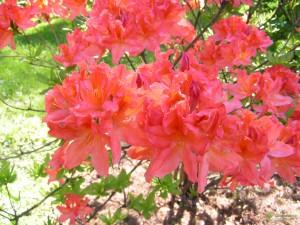 Купить семена, растение – Рододендрон японский оранжево-красный