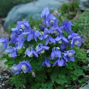 Купить семена, растение – Аквилегия вееровидная Angel Blue (Aquilegia flabellata)